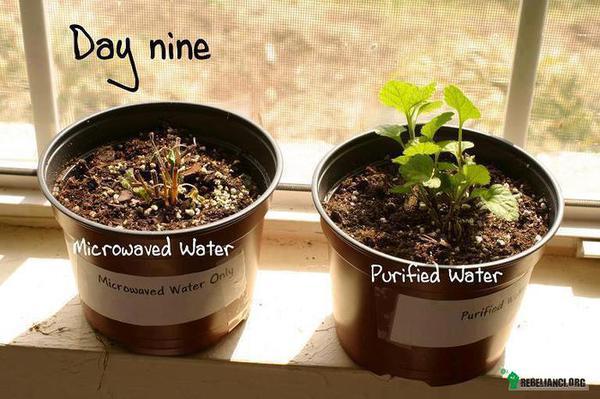 """Mikrofale – To jest projekt na konkurs naukowy wykonany przez dziewczynę w secondary school (odpowiednik polskiego gimnazjum) w Sussex (hrabstwo w południowo-wschodniej Anglii). Wzięła przefiltrowaną wodę i podzieliła ją na dwie części. Pierwszą zagotowała na patelni, a drugą w mikrofalówce. Następnie po ochłodzeniu podlała nimi dwie identyczne rośliny, żeby sprawdzić, czy będzie można zauważyć jakąkolwiek różnicę w tych, które wyrosły na zwyczajnie podgrzanej wodzie i wodzie zagotowanej w mikrofalówce. Pomyślała, że struktura cząsteczek wody może być zdeformowana. Jak się okazało, nawet ona była była zdumiona różnicą, jaką wykazał eksperyment, który był wielokrotnie powtarzany przez jej znajomych z klasy z takim samym rezultatem.  Od pewnego czasu wiadomo, że problemem z czymkolwiek podgrzanym w mikrofali nie jest promieniowanie, ale to, w jaki sposób zniekształca DNA w żywności, tak, że ciało nie jest w stanie go rozpoznać.  Mikrofalówki nie działają w inny sposób, w zależności od tego, co do niej włożymy. Cokolwiek do niej trafi przechodzi ten sam destruktywny proces. Mikrofale wprawiają cząsteczki w drgania rotacyjne, coraz szybsze i szybsze. Ten ruch powoduje tarcie, które powodują denaturację oryginalnej struktury substancji. To skutkuje zniszczonymi witaminami, minerałami, białkami i tworzy nowy związek zwany """"radiolytic compounds"""" (w wolnym tłumaczeniu: zradiolizowane związki chemiczne), które nie występują w przyrodzie.  Z tego powodu nasz organizm magazynuje je w komórkach tłuszczowych, żeby się obronić przed """"martwą"""" żywnością, albo szybko ją wyeliminować. Pomyślcie o wszystkich matkach podgrzewających mleko w tych """"bezpiecznych"""" urządzeniach. A co powiecie na pielęgniarkę w Kanadzie która podgrzała krew dla pacjenta oczekującego na transfuzję i nieumyślnie go zabiła, kiedy krew stała się """"martwa""""? Producenci oczywiście mówią, że to jest bezpieczne... Oceńcie sami. Dowód jest przedstawiony na zdjęciu powyżej."""
