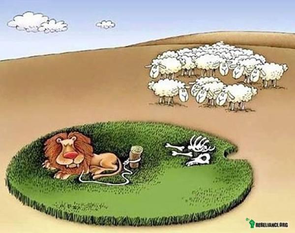 Lew i owce... –